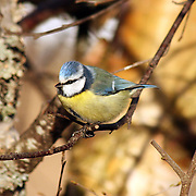 Birds - Singing birds and migratory