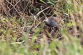 Banded Rail Pictures - Photos