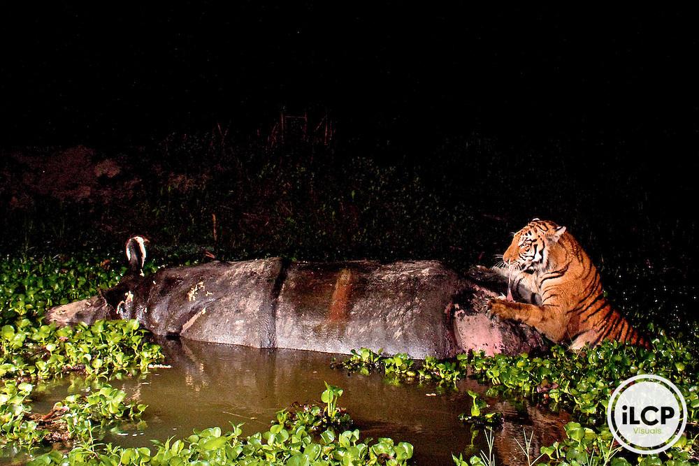 Tiger feeding on a Rhino carcass half submerged in water - Kaziranga National Park - India