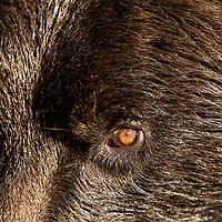USA, Alaska, Katmai National Park, Close-up of Coastal Brown Bear's eye and muzzle (Ursus arctos)