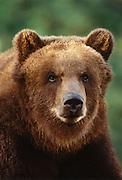 Image portrait of a brown bear (Ursus arctos)