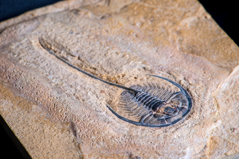 Cedarina schachti (sagittal length: 14mm; total length: 42mm), previously known as Gerospina schachti, is a rare Middle Cambrian ptychopariid trilobite collected from the Weeks Formation in the House Range, Millard County, Utah.