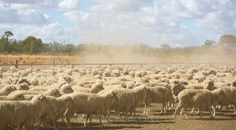 Herd of merino sheep on dry, dusty ground at a sheep station in western Queensland, Australia.