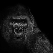 WASHINGTON, D.C. - January 7:  A Gorilla seen in its enclosure at the Smithsonian National Zoo in Washington, D.C. on January 7, 2015. Samuel Corum / Anadolu Agency