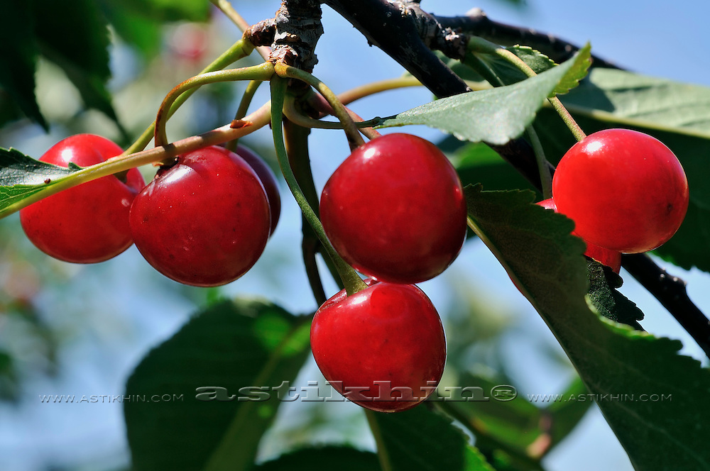 Organic Sour Cherries