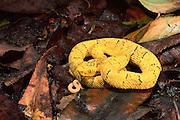 Yellow Viper juvenile<br /> Bothrops osbornei<br /> Western ECUADOR  South America