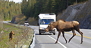 Alaska. Moose (Alces alces) cow and calf deal with the traffic realities of the Seward Highway just north of Seward.