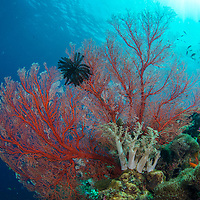 Red sea fan on reef, Maumere, Flores, Indonesia.