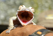 Madagascar, close-up of a Giant Leaf-tail Gecko (Uroplatus fimbriatus)