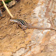 Sonoran Spotted Whiptail <br /> Aspidoscelis sonorae<br /> Ft. Huachuca, Cochise County, Arizona, United States<br /> 23 August       Adult       Teiidae