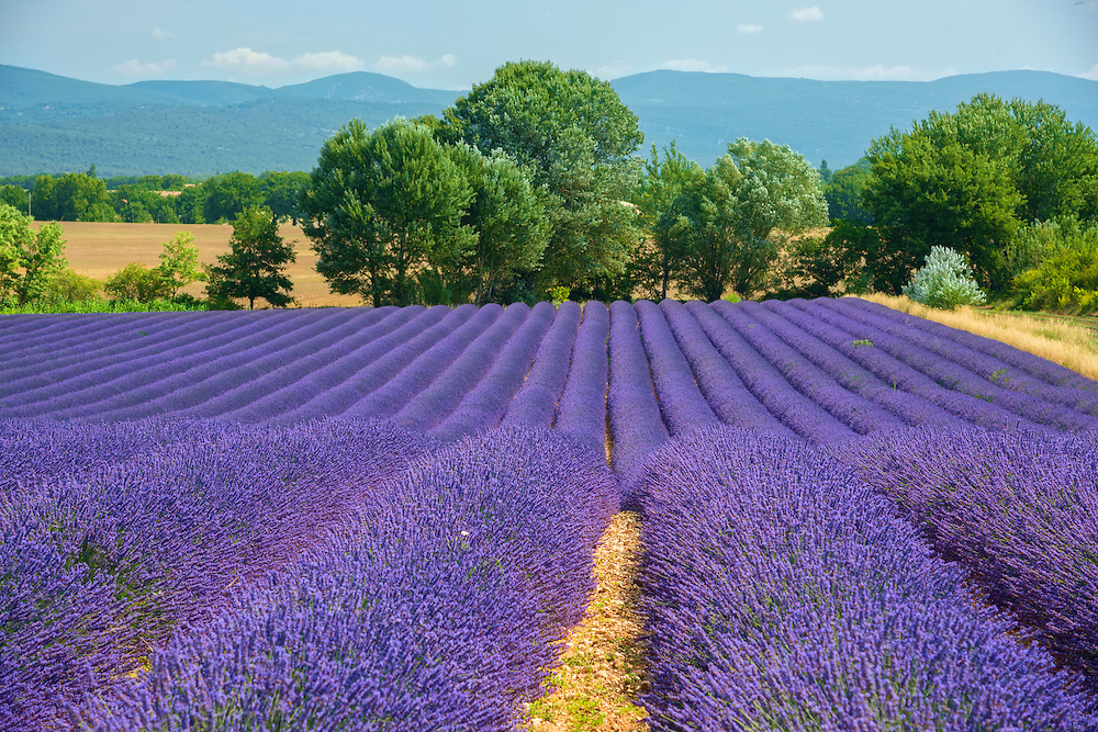Europe, France, Provence, VGordes, Lavender fields,,