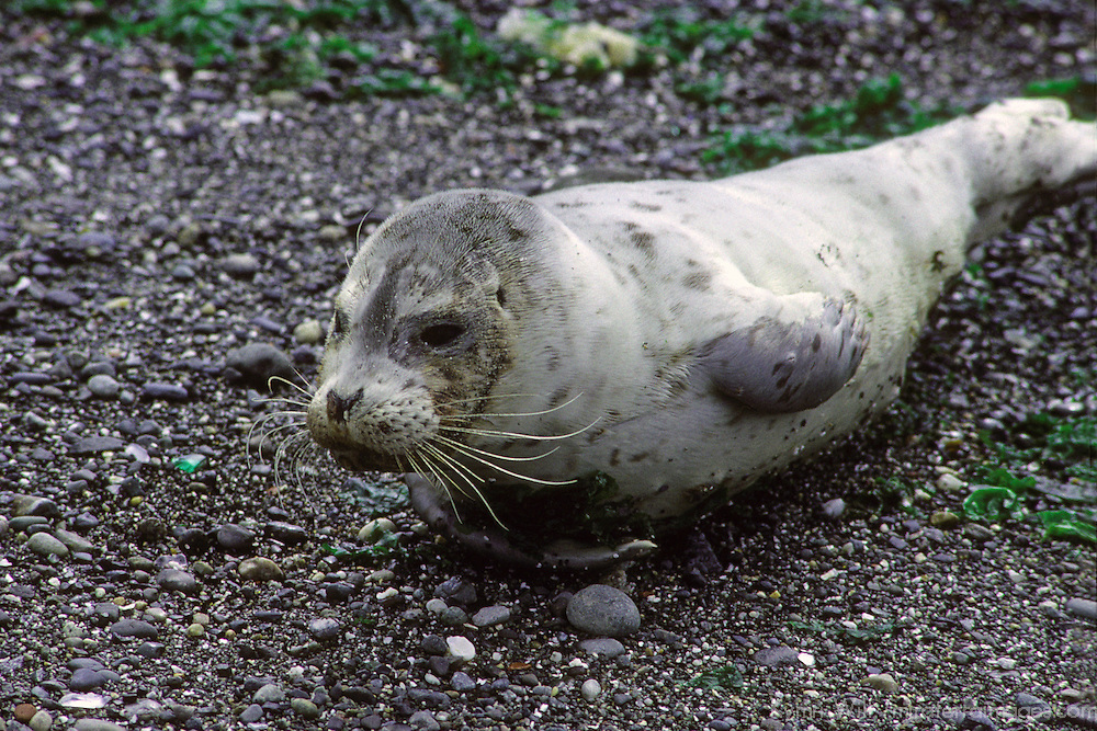 North America, USA, Washington. A Pacific Harbor Seal pup rests ashore on a Seattle beach waiting for its mother to return.