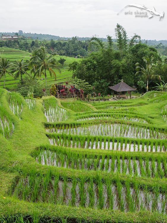 Jatiluwih rice fields in Tabanan, Bali, Indonesia.