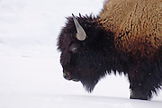 Bison in winter at Mammoth Terraces, Mammoth Hot Springs; Yellowstone National Park.
