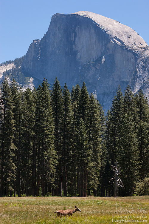 A Mule Deer, also known as a Black-Tailed Deer (Odocoileus hemionus), crosses a meadow in the Yosemite Valley beneath Half Dome in Yosemite National Park, California. Half Dome, a granite peak, rises more than 4,737 feet (1,444 meters) above the valley floor.