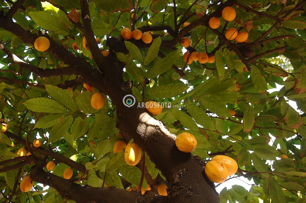Cacau no pe / Cacao in the tree