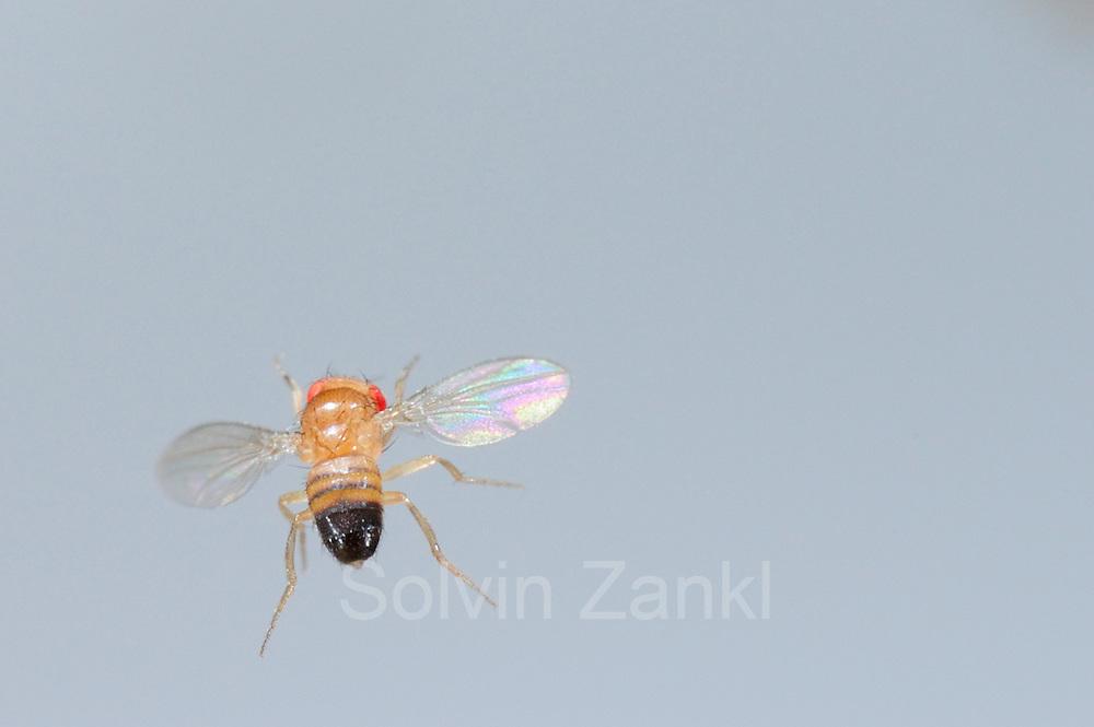 Wild type Fruit Fly (Drosophila melanogaster) in filght in a lab culture.   Eine schillernde Erscheinung, tausendmal gesehen, doch aufgrund der geringen Größe nie gewürdigt: eine männliche Taufliege (Drosophila melanogaster) im Flug. Die Vergrößerung offenbart extremste Flugmanöver, Ausgleichsbewegungen mit Beinen und Körper und dabei der perfekte Rundumblick.