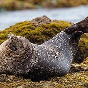 A dark harbor seal (Phoca vitulina richardii) stretches while hauled out on a rock near Ratner Beach in Malibu, California.
