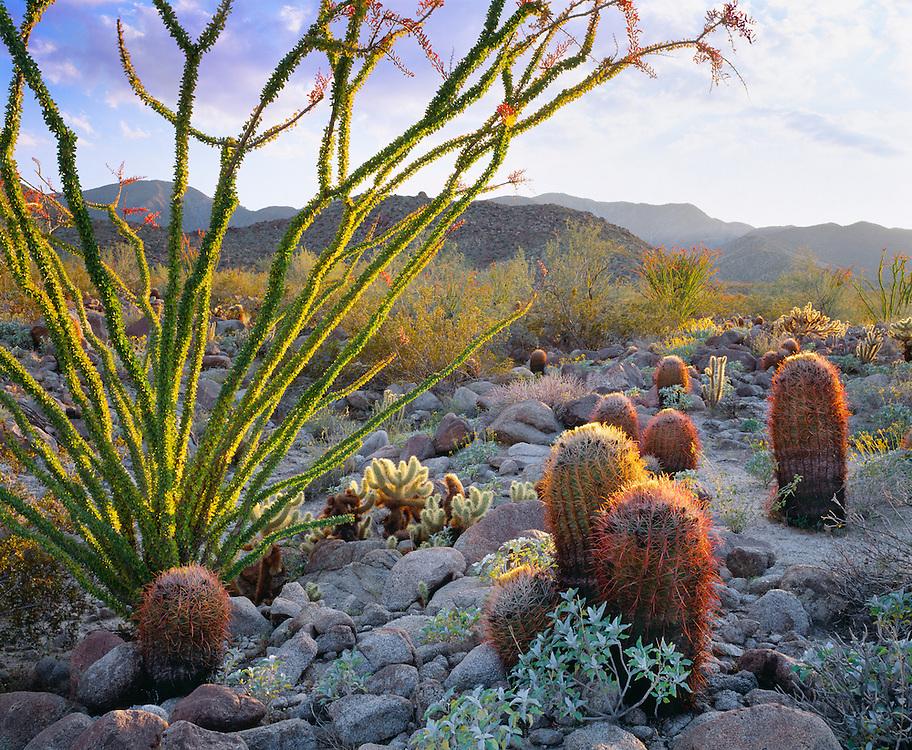 0660-1000D ~ Copyright: George H. H. Huey ~ Barrel cactus [Ferocactus acanthodes], ocotillo, and cholla cactus at sunset. Vallecito Mountains. Mojave Desert.  Anza-Borrego State Park, California.