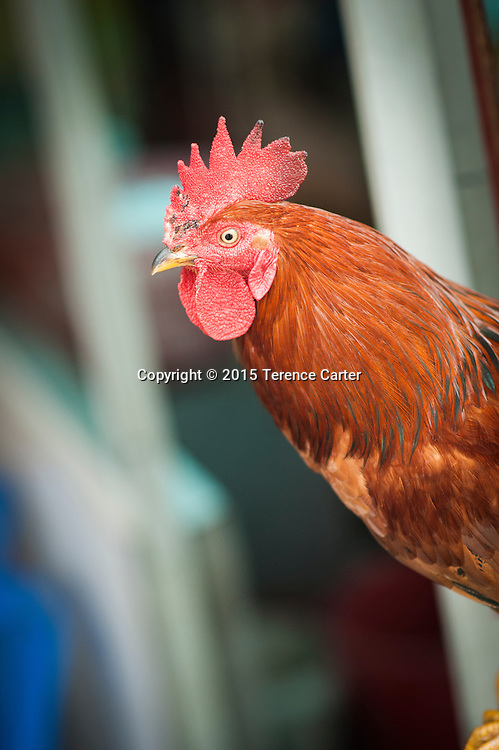 A rooster in Sapa, Vietnam.