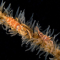 Whip Coral Shrimps