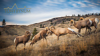 bighorn sheep headbutting montana