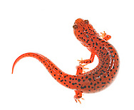 Red Salamanders (Pseudotriton ruber) are thick-bodied, brightly colored amphibians found in the eastern, United States. They are mostly terrestrial as adults and spend a great deal of their time hidden beneath moist leaves, logs and in loose soil