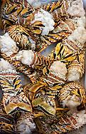 Lobster tails in Cayos Ana Maria, Ciego de Avila, Cuba.