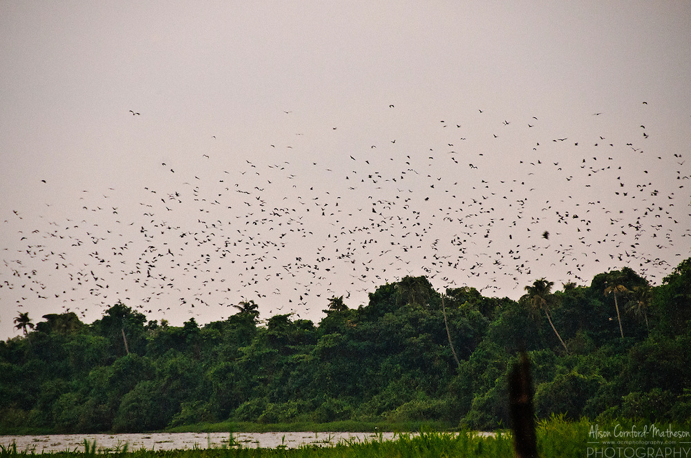 Thousands of Flying Foxes, Bats of the genus Pteropus, take to the air at dusk from the Kumarakom Bird Sanctuary.