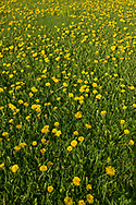Dandelion-filled yard.