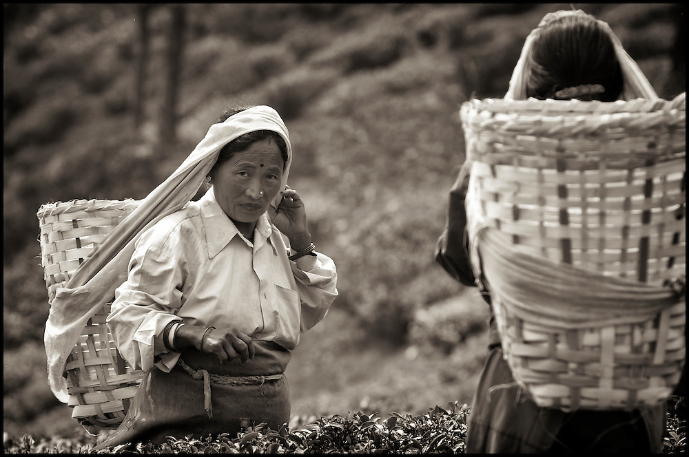 Woman plucking tea leaves to be placed into her basket.