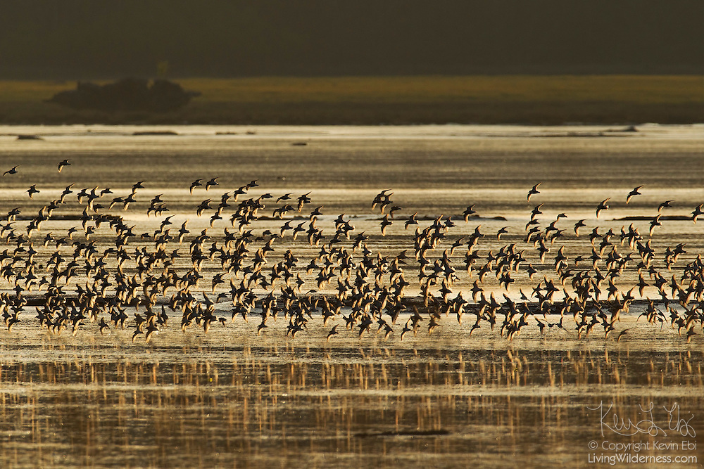 Thousands of shorebirds, mainly dunlin (Calidris alpina), fly over the Bowerman Basin in Washington's Grays Harbor at sunrise.