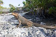Endangered Bahaman Rock Iguana under sunlight.