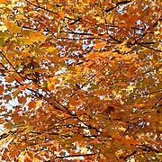 Orange and yellow fall foliage color, Kentucky, USA.