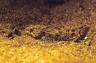 Mottled Sculpin<br /> <br /> ENGBRETSON UNDERWATER PHOTO