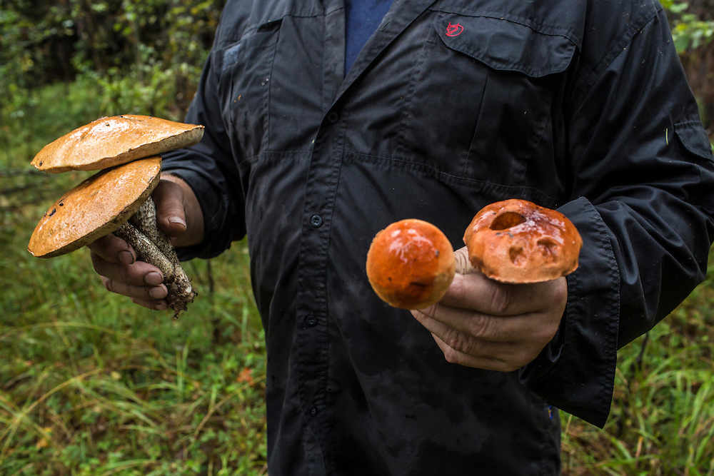 Vladimir Shashilov holds wild aspen mushrooms found in the forest on Saturday, August 24, 2013 in Suzdal, Russia.