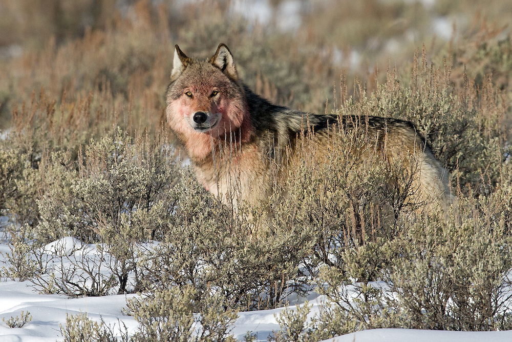 Showing evidence of a successful hunt, this member of the Blacktail Wolf Pack, waits to return to the pack's kill site for another meal. The wolf was extremely vigilant in watching for members of a nearby wolf pack encroaching on their territory before returning to the carcass.