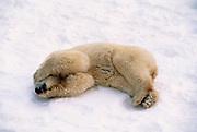 Image of a sleeping polar bear (Ursus maritimus) in a snow field near Churchill in Manitoba, Canada