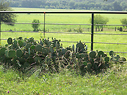 Prickly Pears beside a Ranch Fence on old Hwy. 67