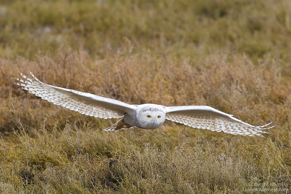 A snowy owl (Bubo scandiacus, formerly Nyctea scandiaca) flies low over the coastline along Boundary Bay in southern British Columbia, Canada. Snowy owls, the largest birds to reside in the Arctic, rarely winter as far south as the Canadian/United States border, but do so once or twice a decade when the owl population is too large for the food supply in their usual winter range. These extended migrations are known as irruptions. Boundary Bay was the winter home for an especially large number of snowy owls during the winter 2011-2012 irruption.