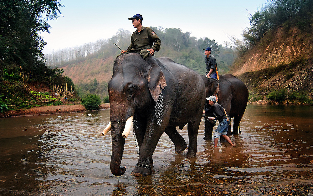 Asian elephants recieve their morning bath with their mahout at Pak Lai, Laos.