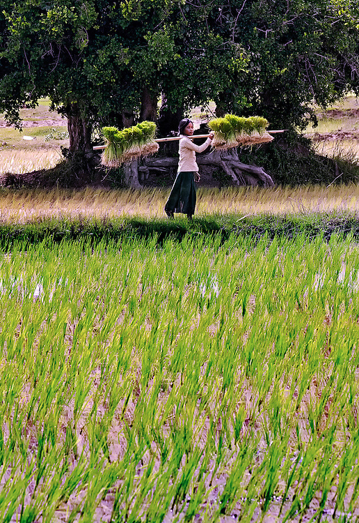 A girl with rice seedlings working in the rice field during planting near Tham Lot Khong Lo, Laos.