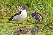 Comb Duck.Sarkidiornis melanotos.AKA Knob-billed Duck.pair.Mauricedale Game Reserve.near Malelane,.Mpumalanga Province,.South Africa.20 January 2006