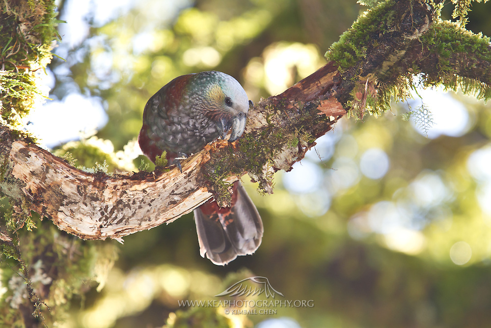 Kaka, chewing bark, Fiordland, New Zealand
