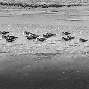 American Avocets Soaking In Geyser Pool - Yellowstone National Park - Black & White