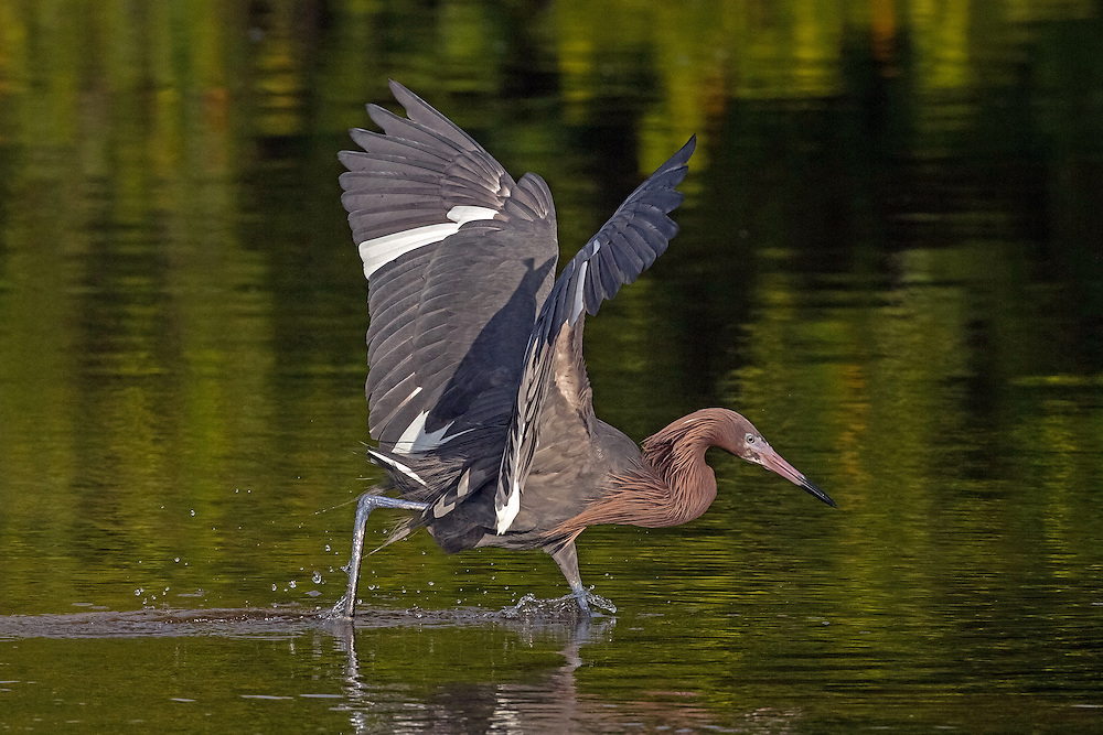 The reddish egret is the rarest egret species found in North America.  When fishing, this dancing egret sprints across the lagoon, weaving drunkenly while simultaneously flicking its broad wings in and out. At times, the bird will raise its wings forward over its head, creating a shadow on the water. It then freezes in this position for minutes attracting fish to this patch of shade, thus allowing them to catch their next meal.