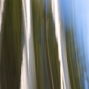 #5 Aspens, Summer #2 Motion