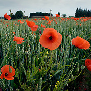 NOTE. NO USAGE TO BE MADE UNTIL FEE AGREED..POPPIES GROW ON THE FIRST WORLD WAR SOMME BATTLEFIELD AT RANCOURT, NORTHERN FRANCE. 90 YEARS AGO ON THE FIRST OF JULY 1916 THE SOMME OFFENSIVE WAS LAUNCHED AND BY THE END OF THE FIRST DAYS BATTLE NEARLY 60,000 CASUALTIES WERE INFLICTED ON THE BRITISH AND COMMONWEALTH FORCES, 20,000 OF THOSE WERE DEAD..COPYRIGHT PHOTOGRAPH BY BRIAN HARRIS  © 2006.07808-579804