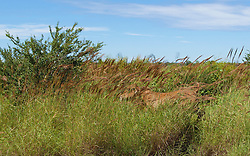 A young cow flees into cane grass by the roadside near Fitzroy Crossing.