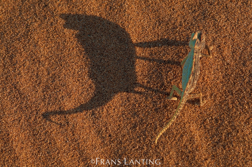 Namaqua chameleon, Chamaeleo dilepis dilepis, Namib-Naukluft National Park, Namibia